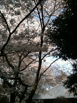 100401桜_03.jpg